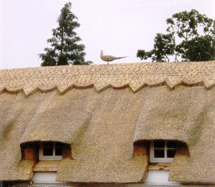 The White Post Cafe as mentioned in the link - Thatching in East Anglia